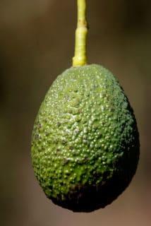 Avocado shortage