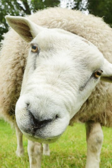 How to be a shepherd